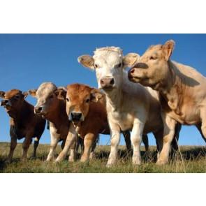 Fotomural Vacas
